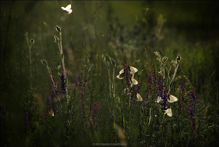 dupa care (fluturi de Cruceni)